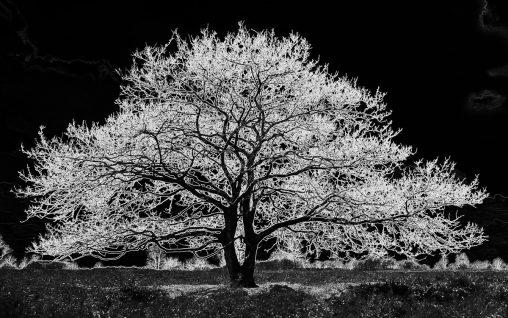 tweelingboom